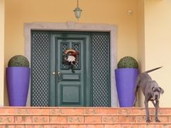 I love his doorway but most importantly I love the attitude of this gorgeous Great Dane who woofed at us in a deep baritone for quite some time but wagged it's tail as furiously as it barked!