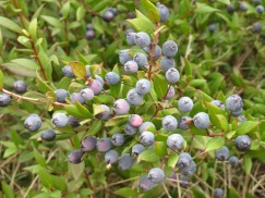 We saw many bushes of these that look so much like our blueberries.
