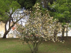 This tree was in full bloom, a bit past it's prime but still a wonderful scent and not a leaf to be seen.