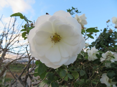 Beautiful white rock roses......this plant was bending with blooms.