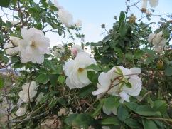 More rock roses.