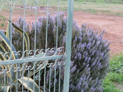 I adore the blossoming rosemary. Never tire of seeing it.