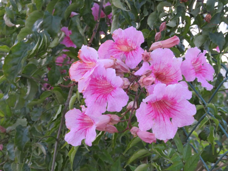 This tubular trumpet vine/tree/shrub is such a welcomed splash of colour throughout the Algarve all through December.