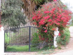 The drive way going up to our quinta. The bouganvilla is still blooming and will continue throughout the year. Something that gives us such pleasure, year round colour!!