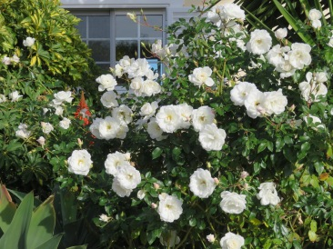 This shrub/tree is enormous and as you can see, laden with beautiful blooms, which no doubt, will smell sweet and beautiful at dusk!