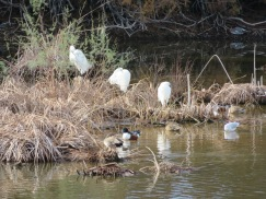 These egrets seemed to be sleeping.