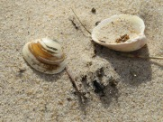 I love all the variety of shells one finds in the sand.