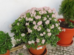 This is a jade plant covered in blossoms.......sitting outside in winter!!!!! Not in Canada!!!!