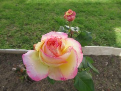 This rose in the Cathedral garden was truly stunning.