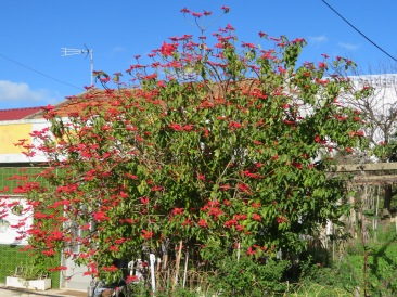 The poinsettia tree in this garden had taken over almost all the free space.