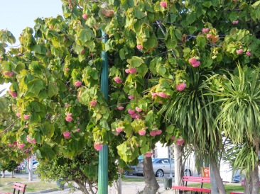 A Hydranga tree in full bloom.