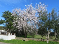 Just look at the almond tree........alive with the bees it truly was humming.