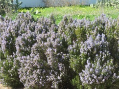 Look at this heavenly rosemary shrub......about 10 feet in length and four feet tall. In full flower.