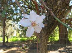 A beautiful single almond flower.