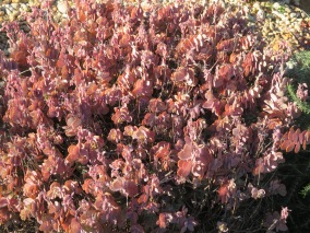 This unusual coloured succulent is in one of the gardens near our house. The new growth on it is almost translucent. Quite beautiful in the sunshine.