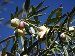 Olive trees in the forest, still bearing fruit.