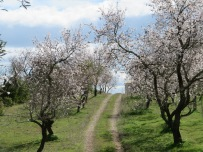 This gorgeous driveway lined with almond trees.