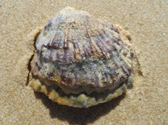 I frequently find wonderful looking shells.....I don't touch them, leave them where Mother Nature put them, but they do make for lovely memories in my photos.