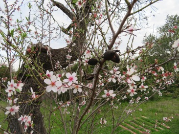 How lovely is this....last years almonds surrounded by this years blossoms.