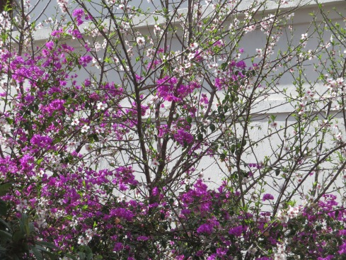 Bougainvillia and almond blossoms married in wonderful colour