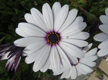 Osteospermums are popping up everywhere, in every colour. One of my favourites.