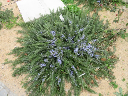 This gorgeous clump of rosemary, in full bloom, was trimmed like a crawler.