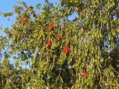 The bottle brush trees are starting to increase in colour daily.
