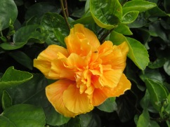 The hibiscus trees/hedges/bushes are laden with colour and blooms.
