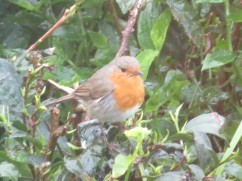 I took this through a window from the second floor of the building. This tiny robin was enjoying a moments reprieve from the rain and hopping all along this tea bush.