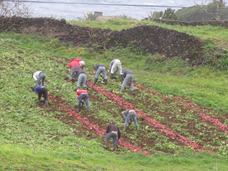 As we drove by we saw this group of men digging, by hand, potatoes.....you can see them laying on the ground. What back breaking work