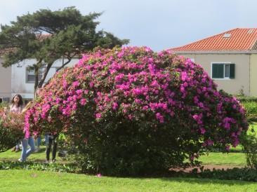 Azaleas in magnificent bloom