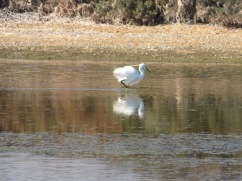 Many egrets hanging around the flats today