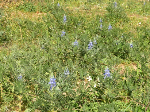 One of my favourites, the blue lupins. I watch for them each year while here.