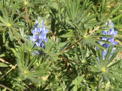 More blue lupins.