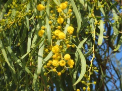 The mimosa or acacia is starting to bloom. I love it!!
