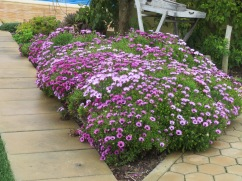 One of our flower beds is overflowing with osteospermums. I love them.