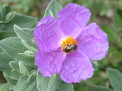 The cistus are starting to bloom and the bees are busy at work.
