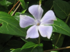 This soft purple periwinkle is creeping and crawling in any available space up the sides of the hills.