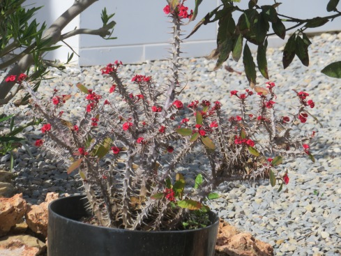 Lovely flowering cactus I saw on one of my walks.