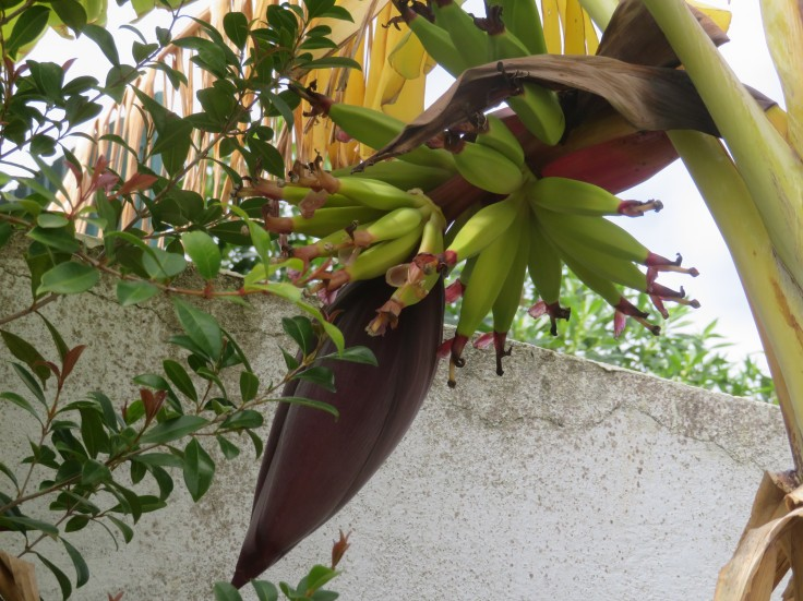 A new banana flower and fruit just starting to grow. These are about three inches long.