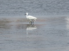 This lovely egret was watching a few clammers suspiciously.