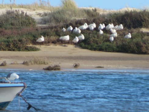 This flock of flamingos were cuddled together sleeping on the opposite shore from us .