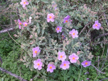 And he cistus are multiplying.