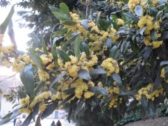 This tree was starting to bloom all over town......I'm not certain what it is.