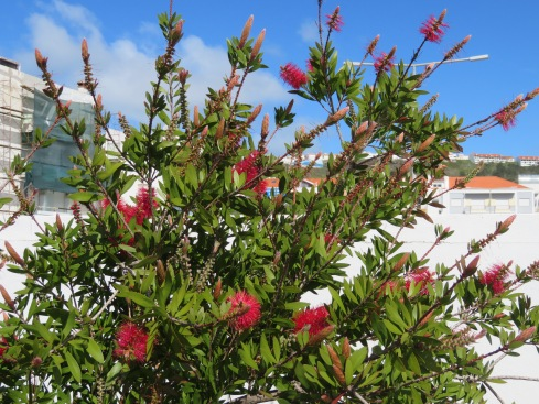 This lovely bottle brush was in full bloom and the colour gorgeous against the blue sky.