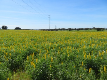 And one of my very favourites.......fields of yellow lupins as far as the eye can see. I nearly drove the car off the road when I rounded thee bend and saw these.