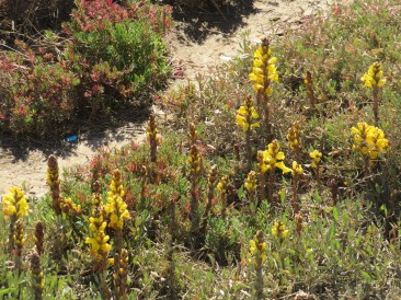 I love this parasitic plant that grows along the shoreline at this time of the year. Such a vibrant yellow.