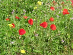 Closer shot of the poppies