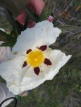 These gorgeous cistus are blooming throughout the mountains. Challenging to get a good photo as the wind was blowing.