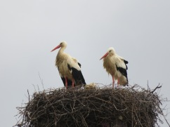 I see these storks each year and watch their progress into parenthood.